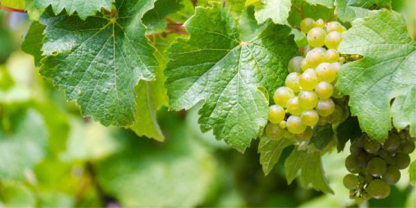 elenco vini bianchi italiani
